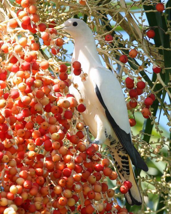 Torresian Imperial-Pigeon Photo by Robert Lewis