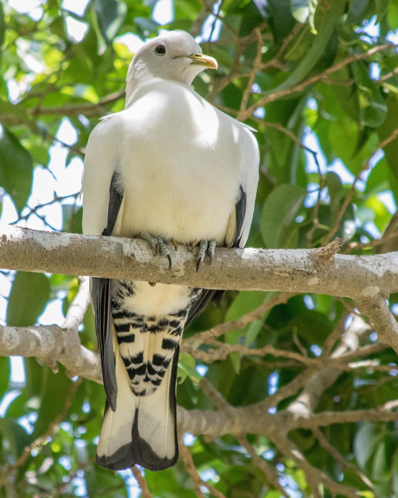 Torresian Imperial-Pigeon Photo by Mark Baldwin
