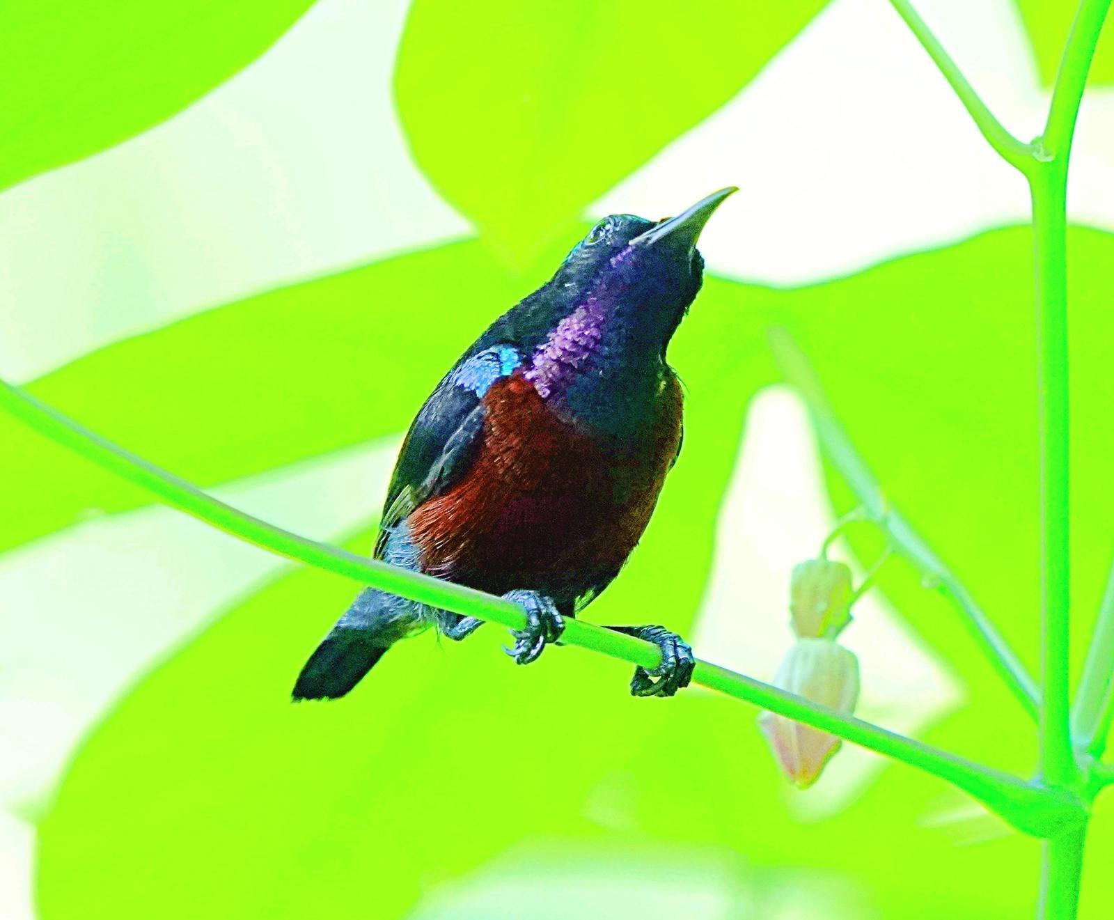 Van Hasselt's Sunbird Photo by Steven Cheong