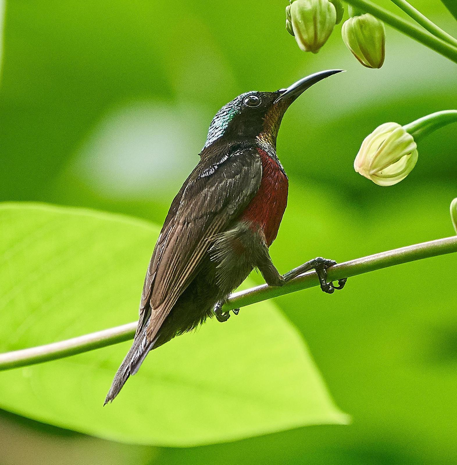 Van Hasselt's Sunbird Photo by Steven Cheong