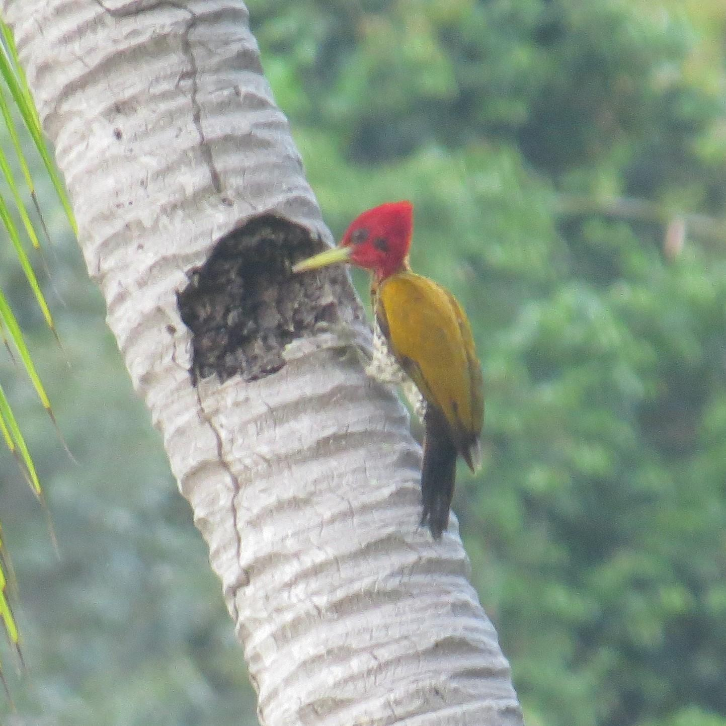 Red-headed Flameback Photo by Ronald Tanco