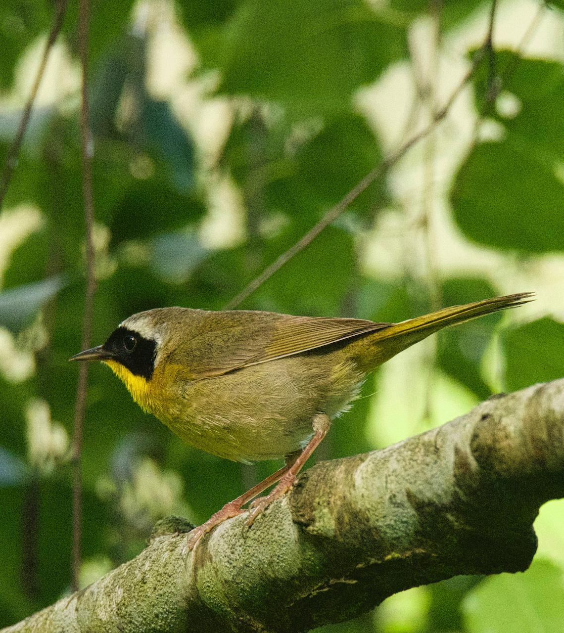 Common Yellowthroat (arizela Group) Photo by Brian Avent