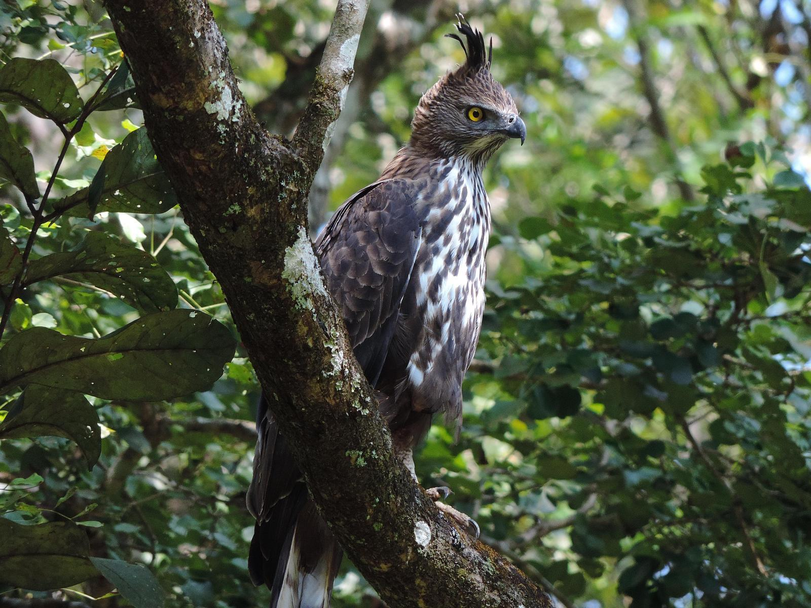 Changeable Hawk-Eagle (Crested) Photo by SRI RAMAN