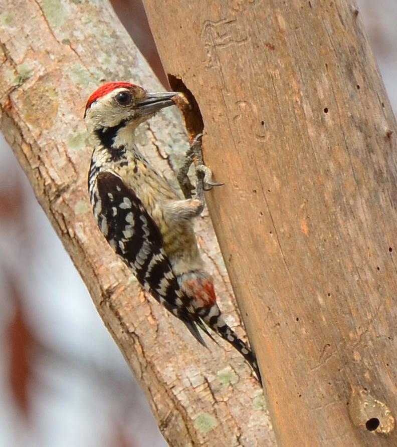 Freckle-breasted Woodpecker Photo by Uthai Cheummarung