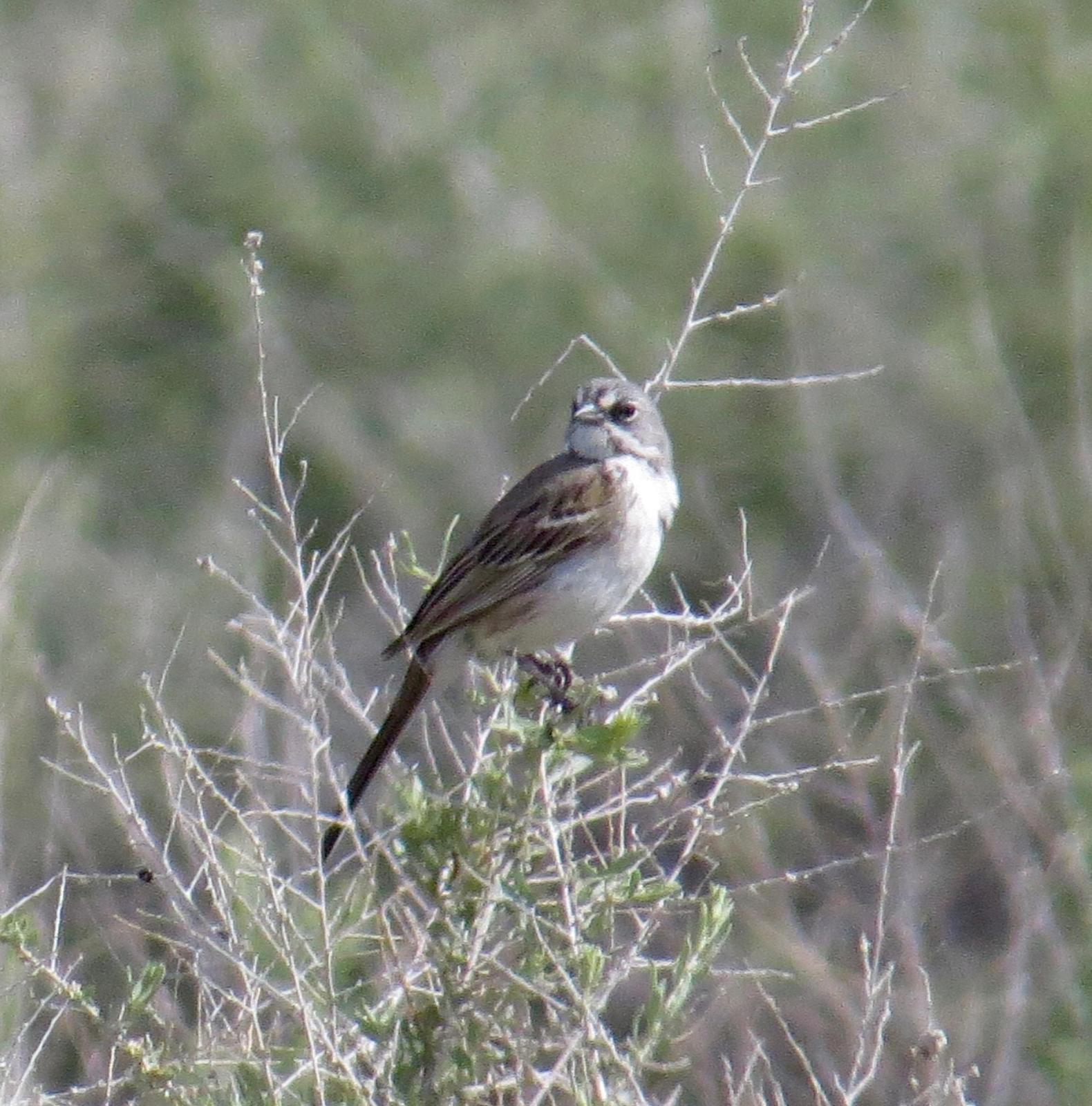 Bell's Sparrow Photo by Don Glasco