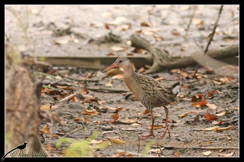 Ridgway's Rail Photo by Rene Valdes