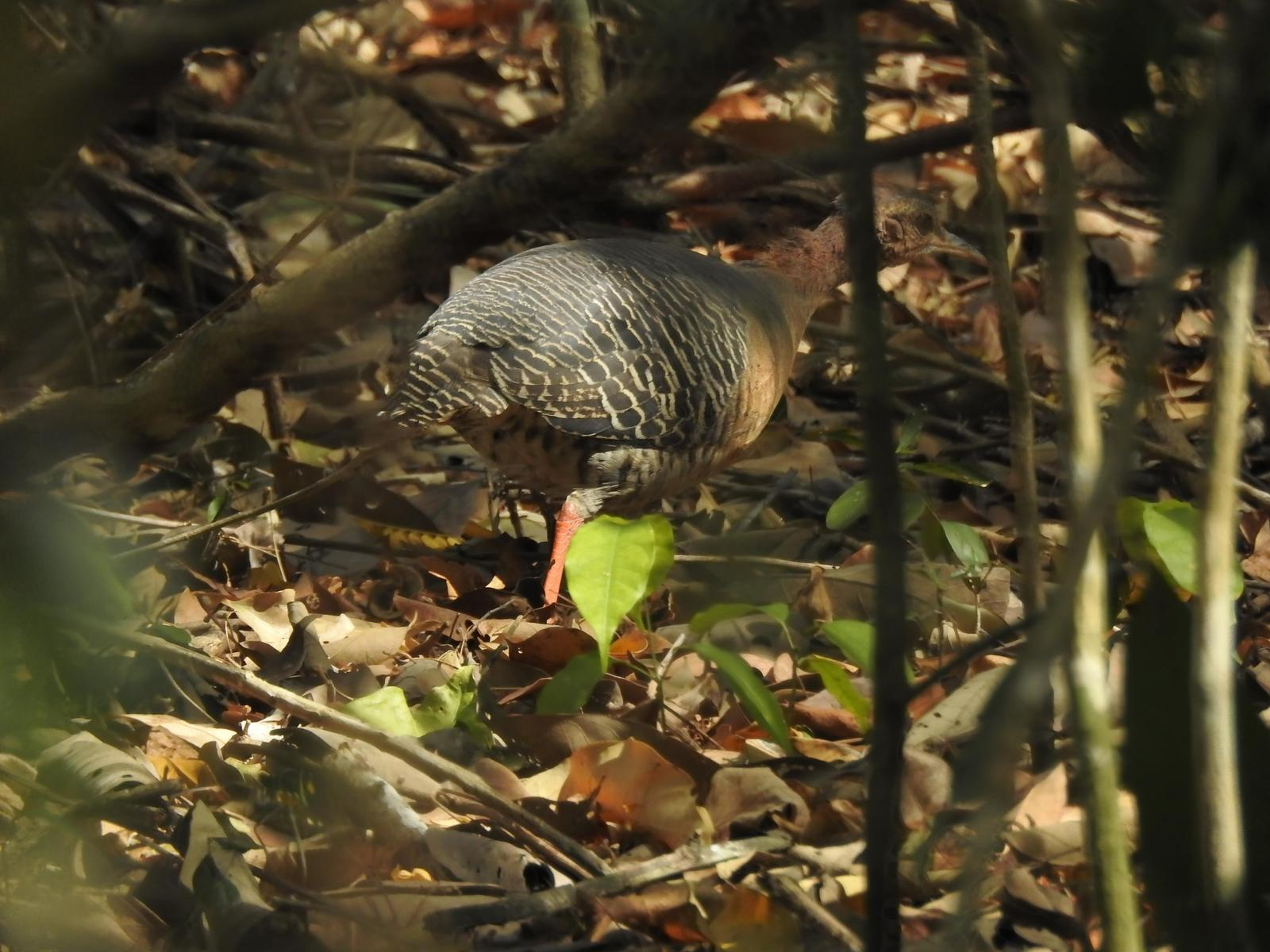 Thicket Tinamou (cinnamomeus Group) Photo by Castillo Cime