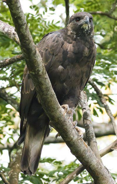 Changeable Hawk-Eagle Photo by Kenneth Cheong