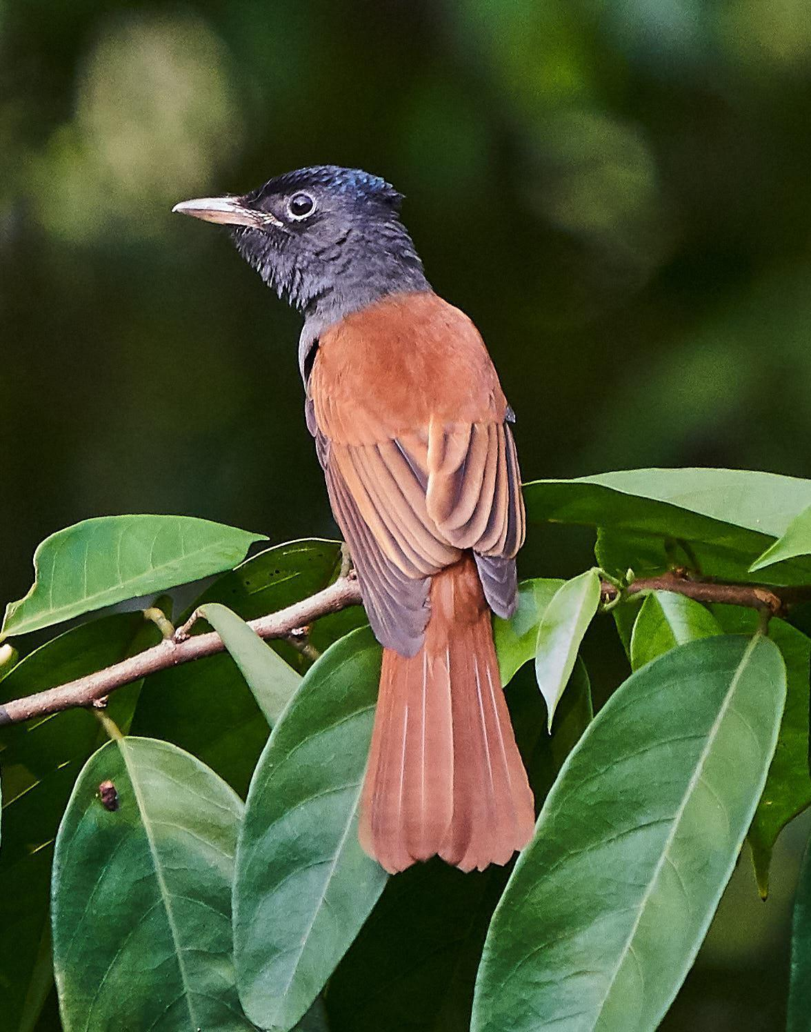 Blyth's Paradise-Flycatcher Photo by Steven Cheong