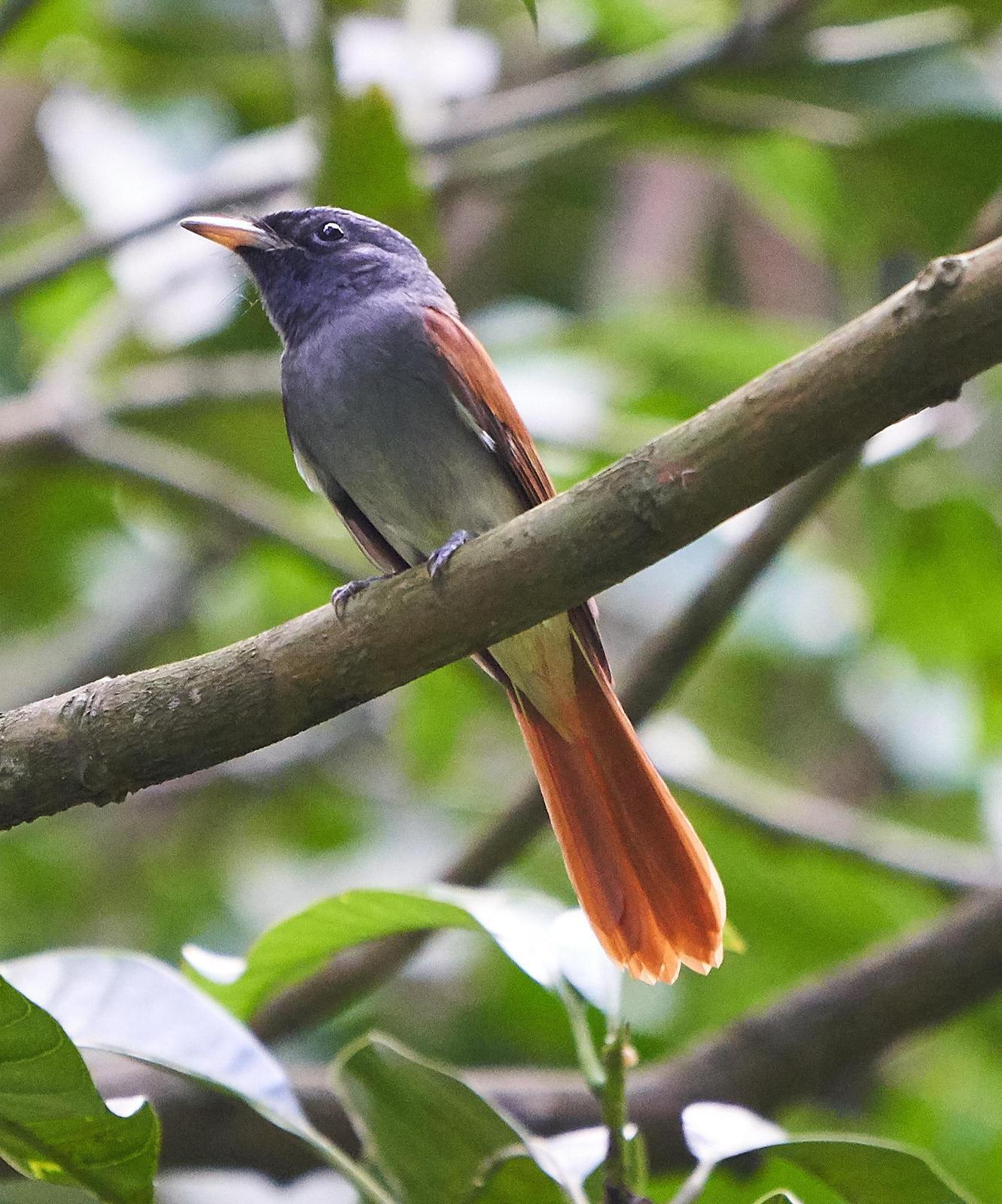 Blyth's Paradise-Flycatcher Photo by Steven Cheong