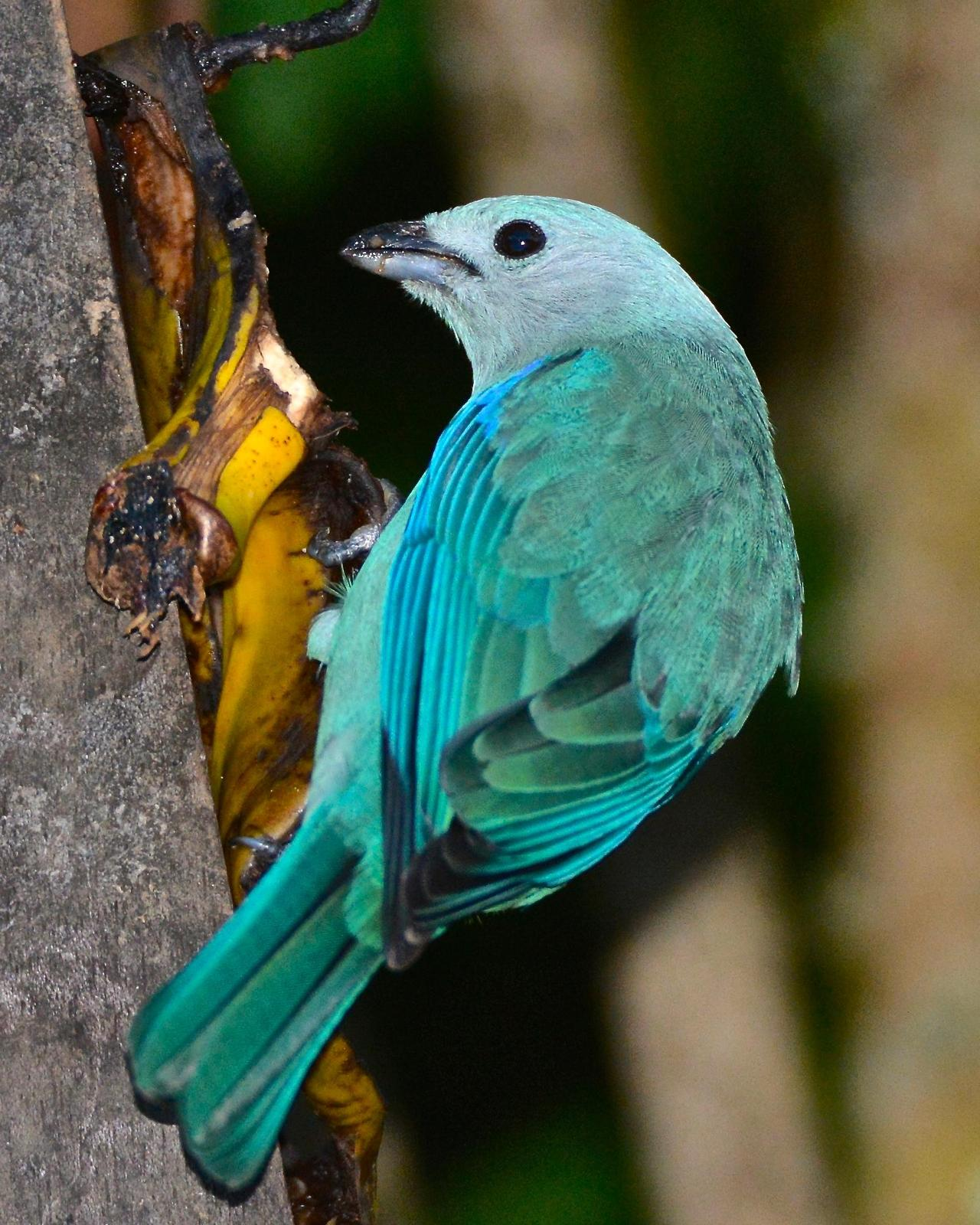 Blue-gray Tanager (Blue-gray) Photo by Gerald Friesen