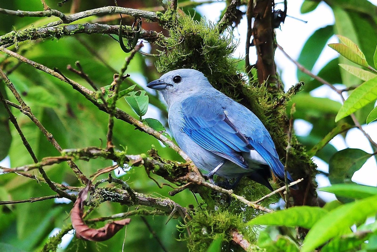 Blue-gray Tanager (Blue-gray) Photo by Matthew McCluskey