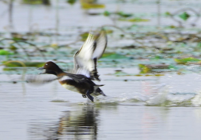 Ferruginous Duck x Baer's Pochard (hybrid) Photo by Uthai Cheummarung