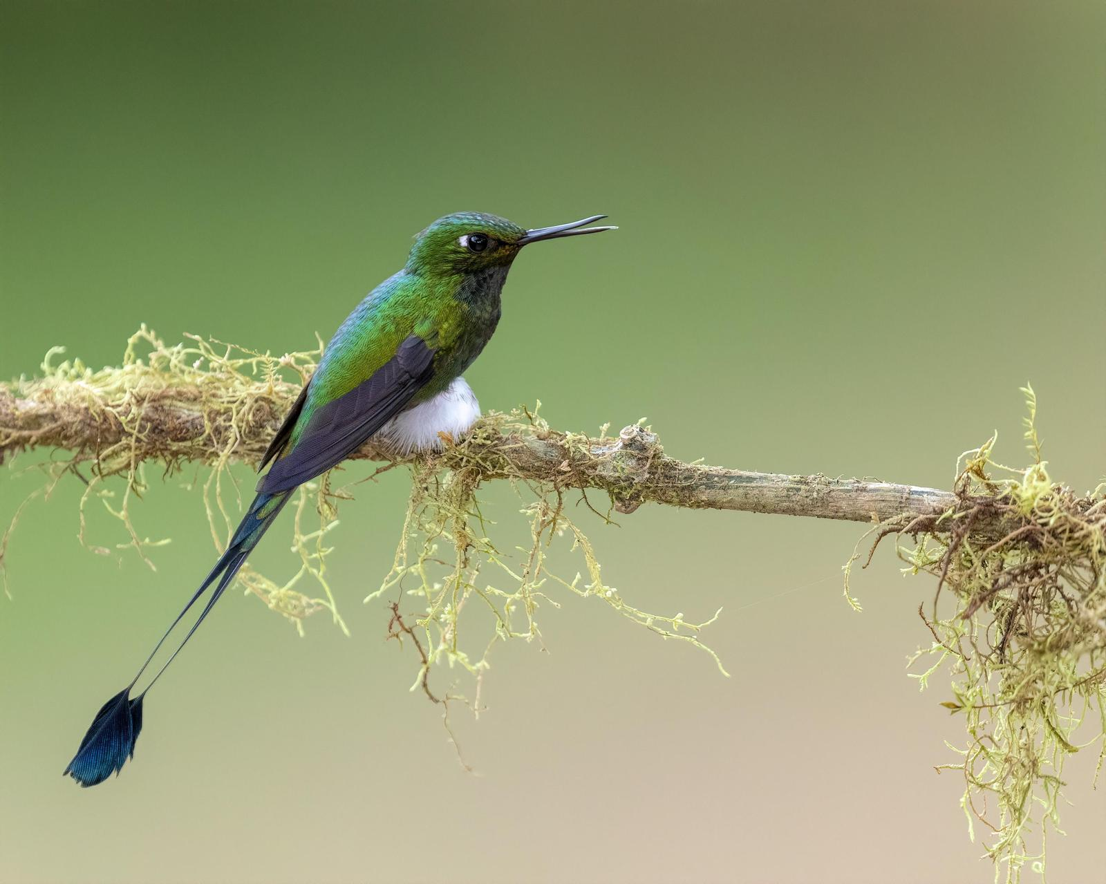 Booted Racket-tail (White-booted) Photo by Bruce Rosenstiel
