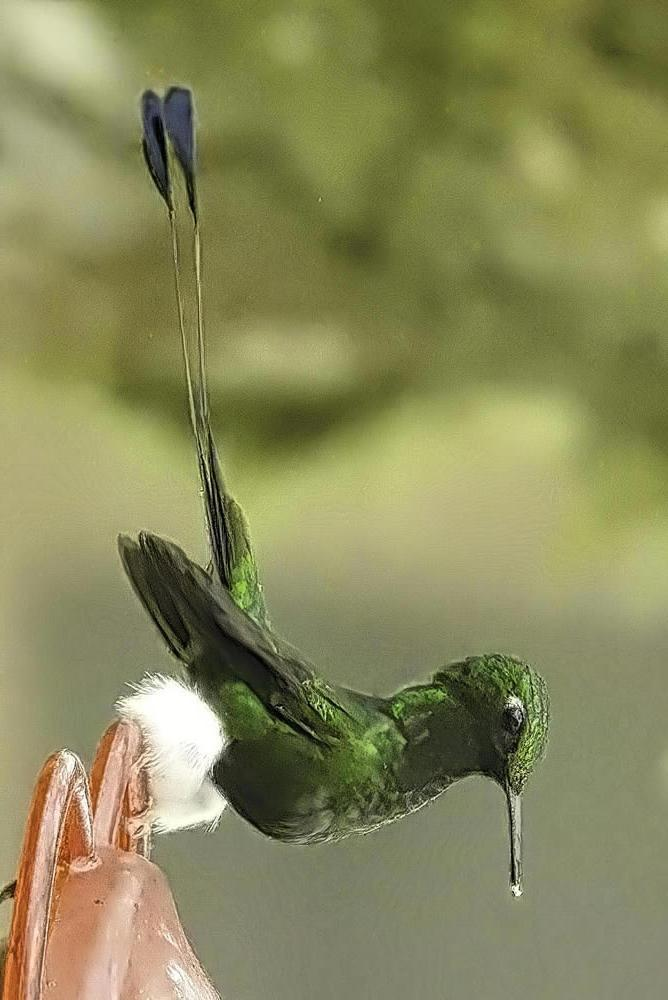 Booted Racket-tail (White-booted) Photo by Susan Norris