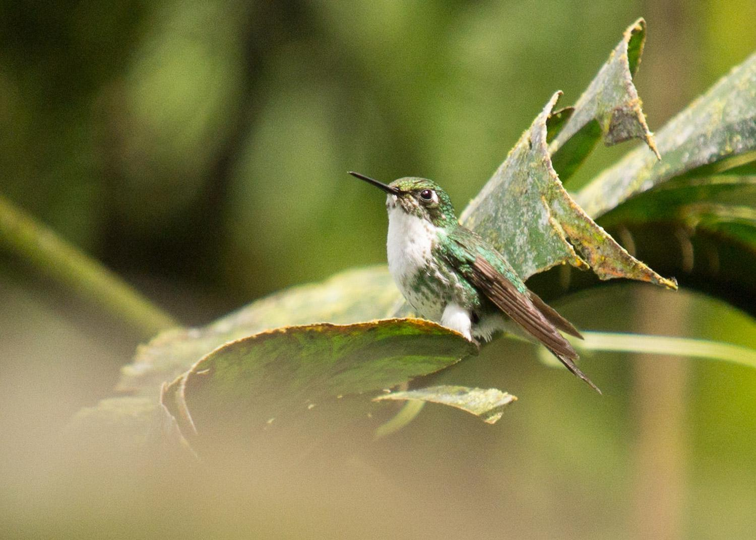 Booted Racket-tail (White-booted) Photo by Philip Turnbull