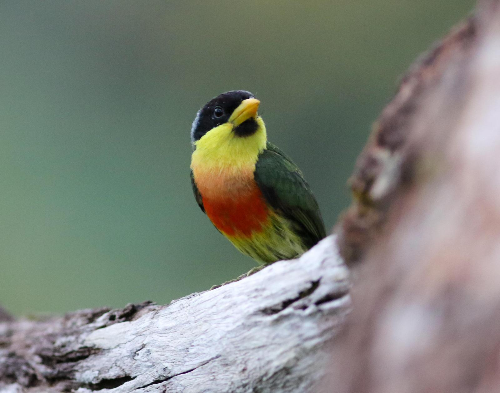 Lemon-throated Barbet (Lemon-throated) Photo by Leonardo Garrigues