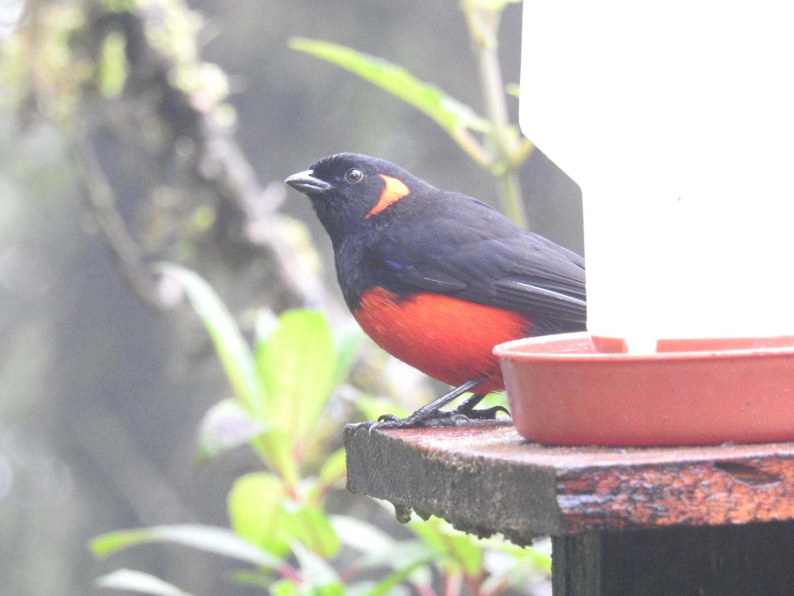 Scarlet-bellied Mountain-Tanager (Scarlet-bellied) Photo by John Licharson
