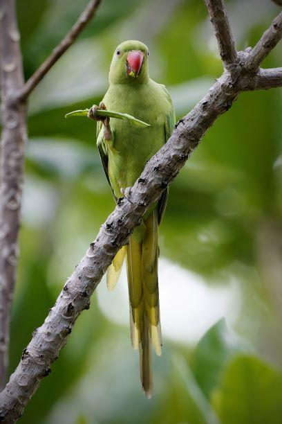 Alexandrine/Rose-ringed Parakeet Photo by Kenneth Cheong