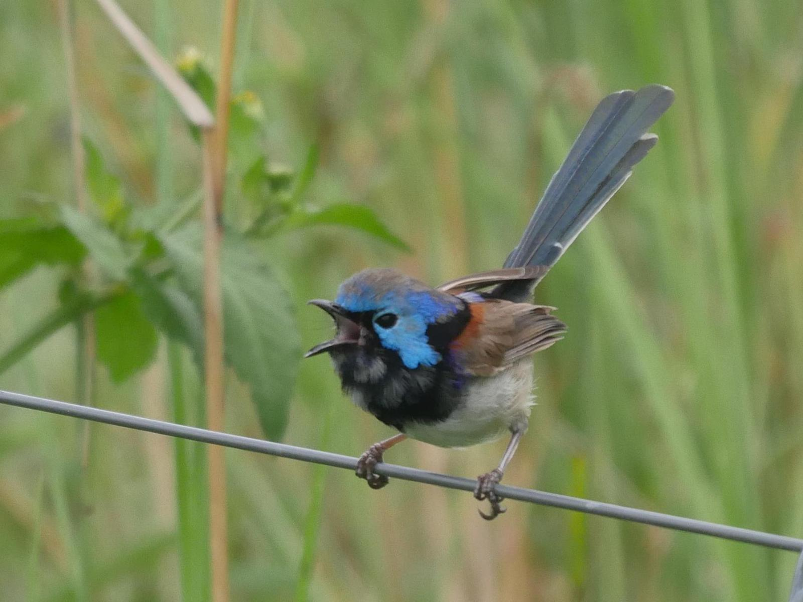 Variegated Fairywren Photo by Peter Lowe