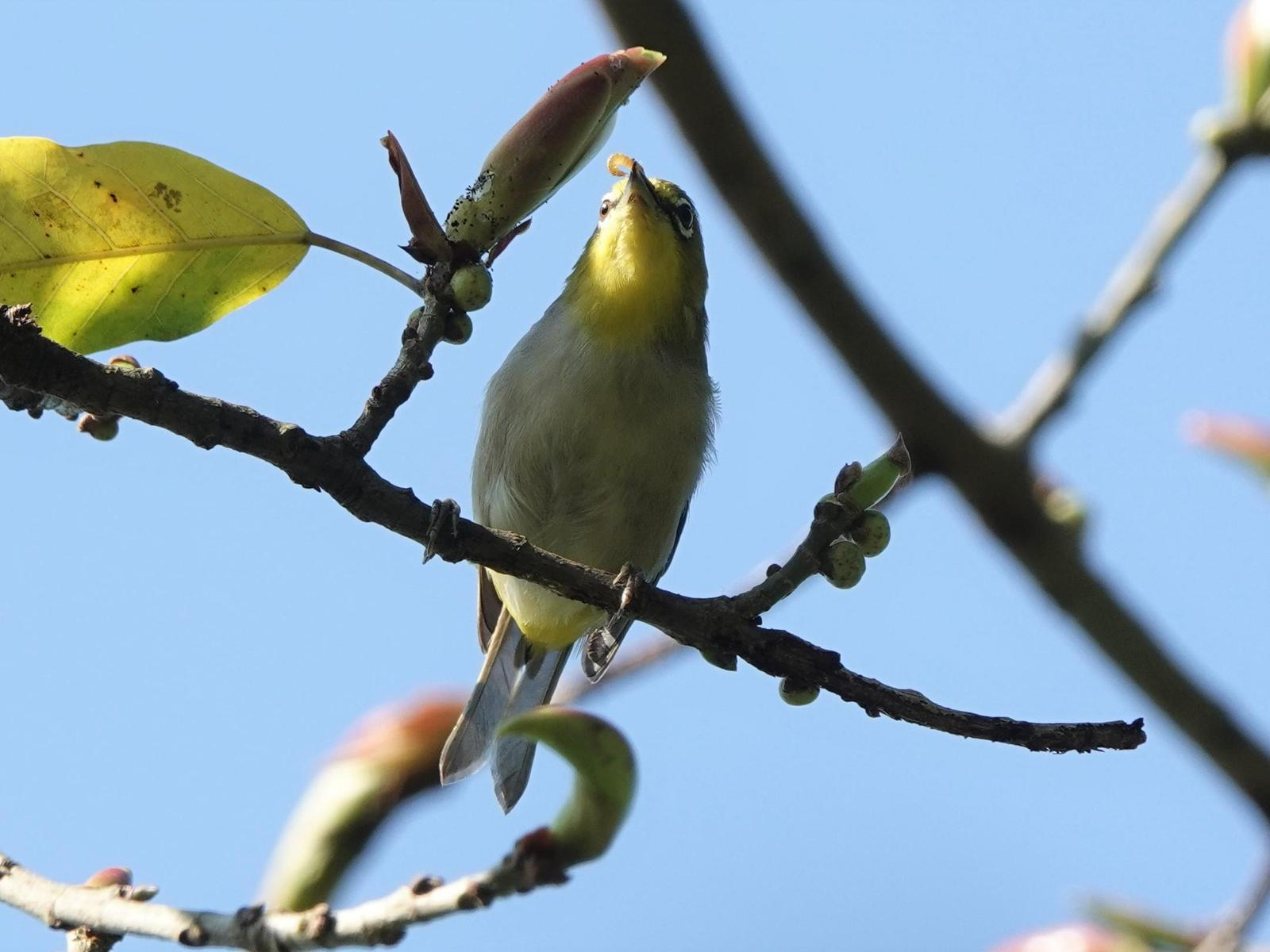 Swinhoe's White-eye Photo by Bonnie Clarfield-Bylin