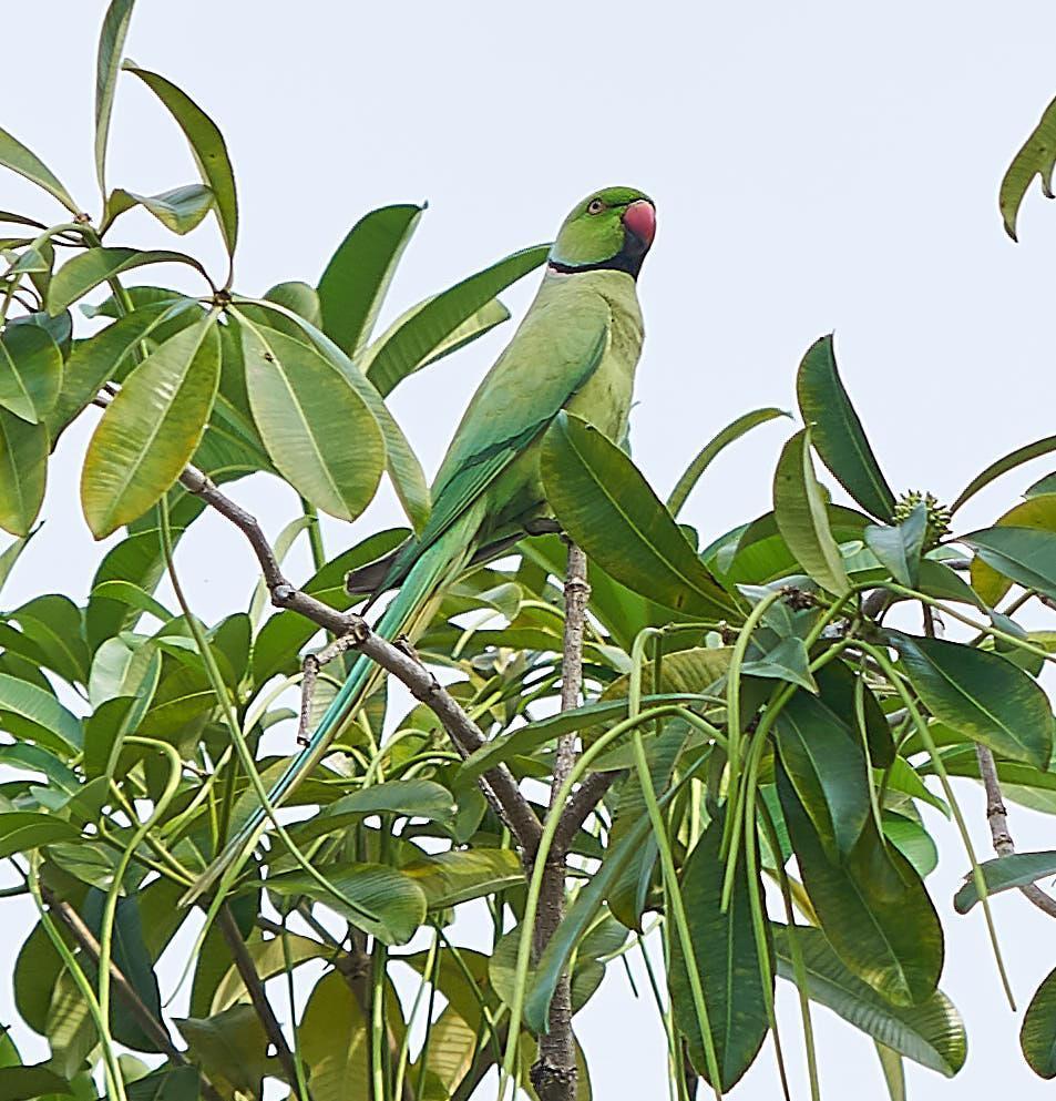 Alexandrine/Rose-ringed Parakeet Photo by Steven Cheong