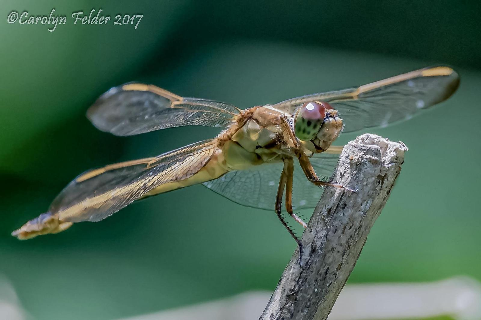Common Green Darner Photo by Carolyn Felder