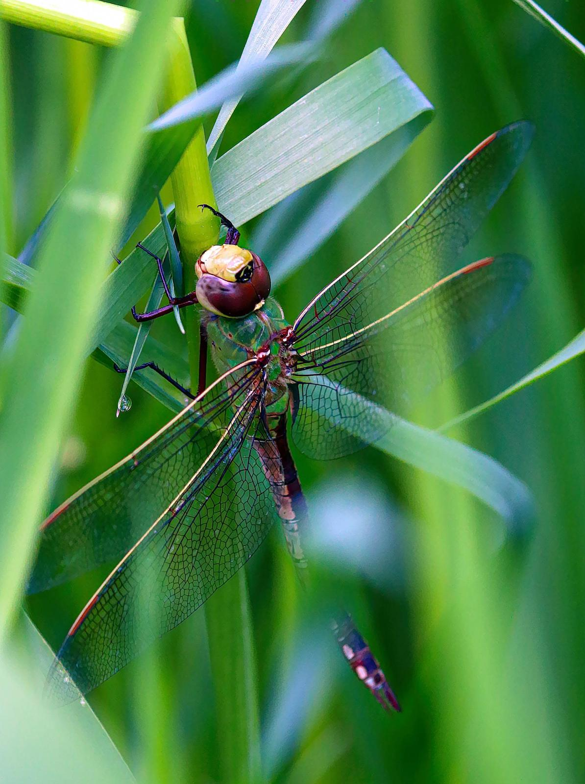 Common Green Darner Photo by Dan Tallman
