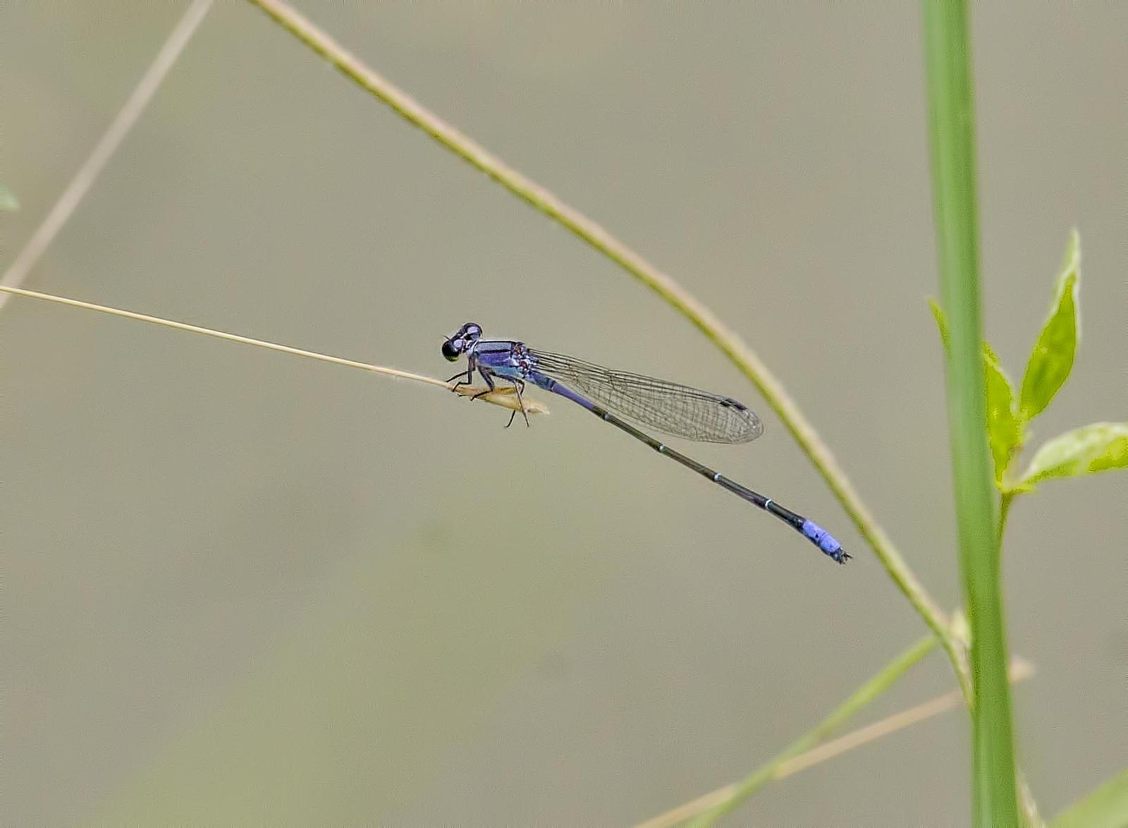 Neotropical Bluet Photo by Michael Moore