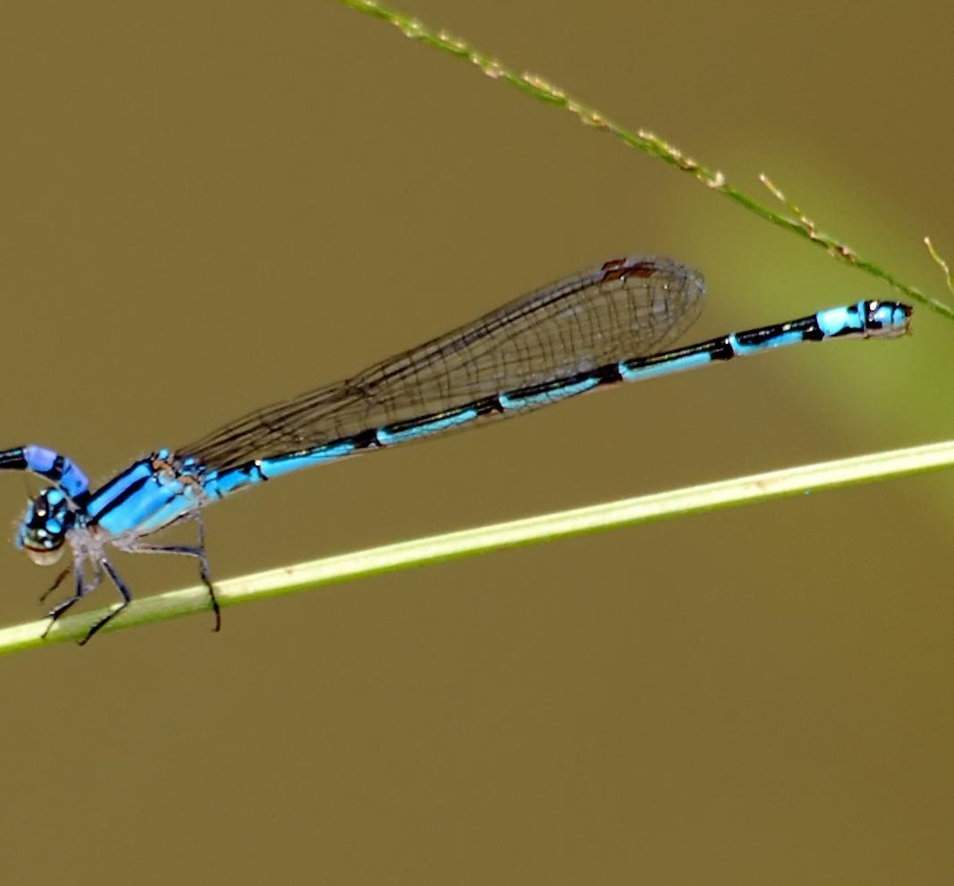 Neotropical Bluet Photo by marion dobbs