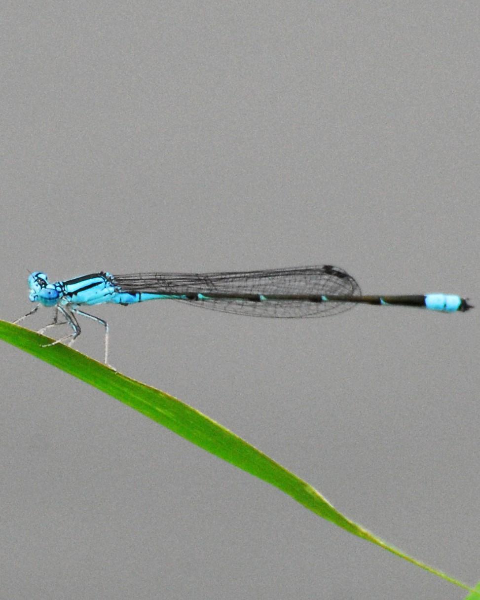 Slender Bluet Photo by David Hollie