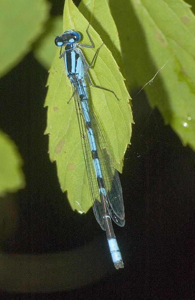 Vernal Bluet Photo by Dennis Paulson