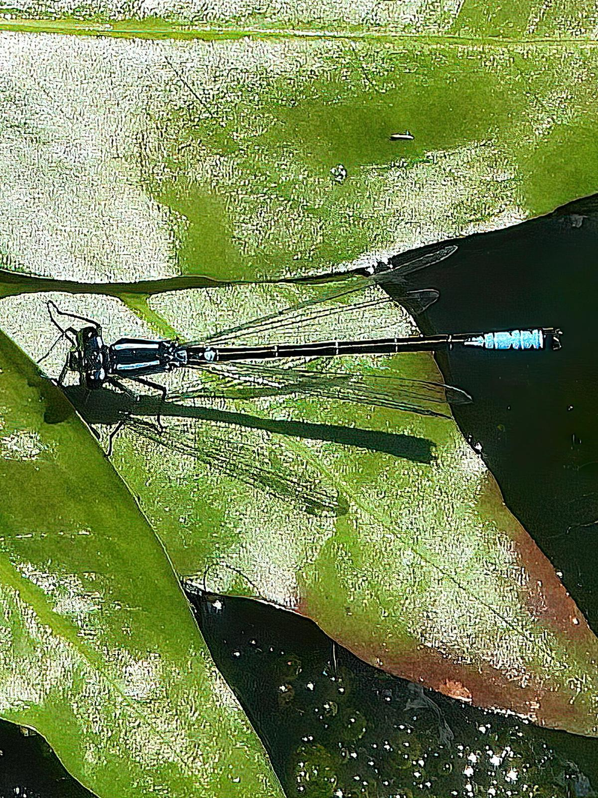 Swift Forktail Photo by Dan Tallman