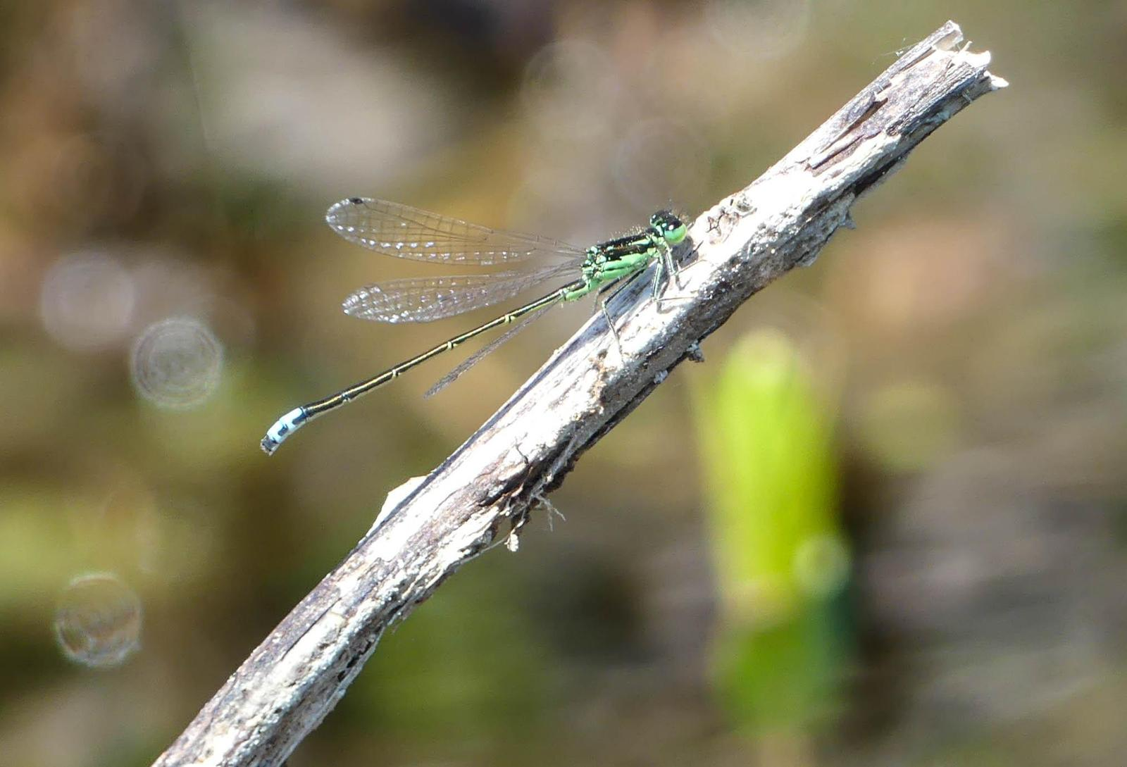 Eastern Forktail Photo by Gale VerHague