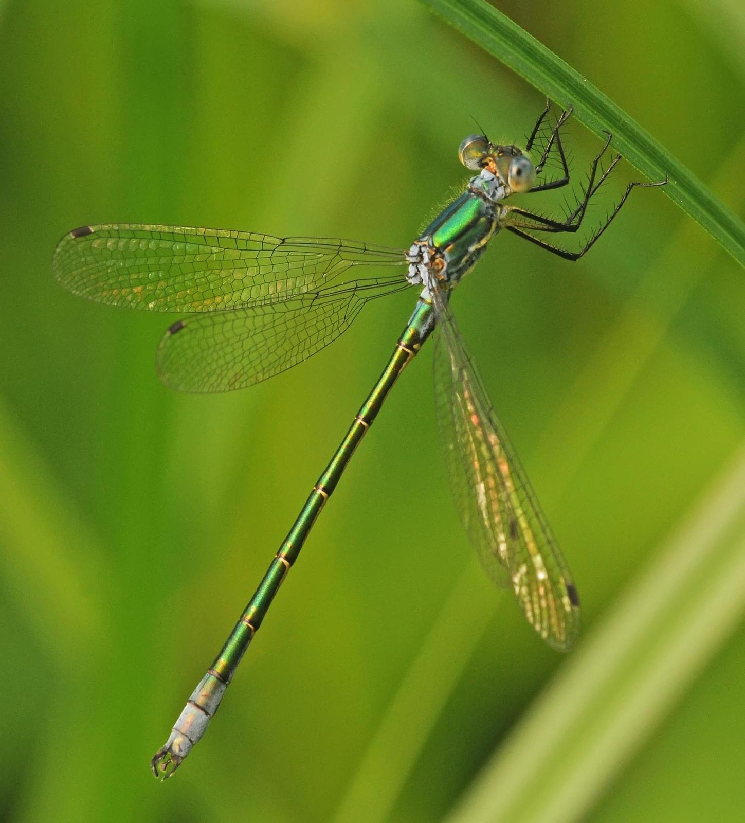 Emerald Spreadwing Photo by marion dobbs