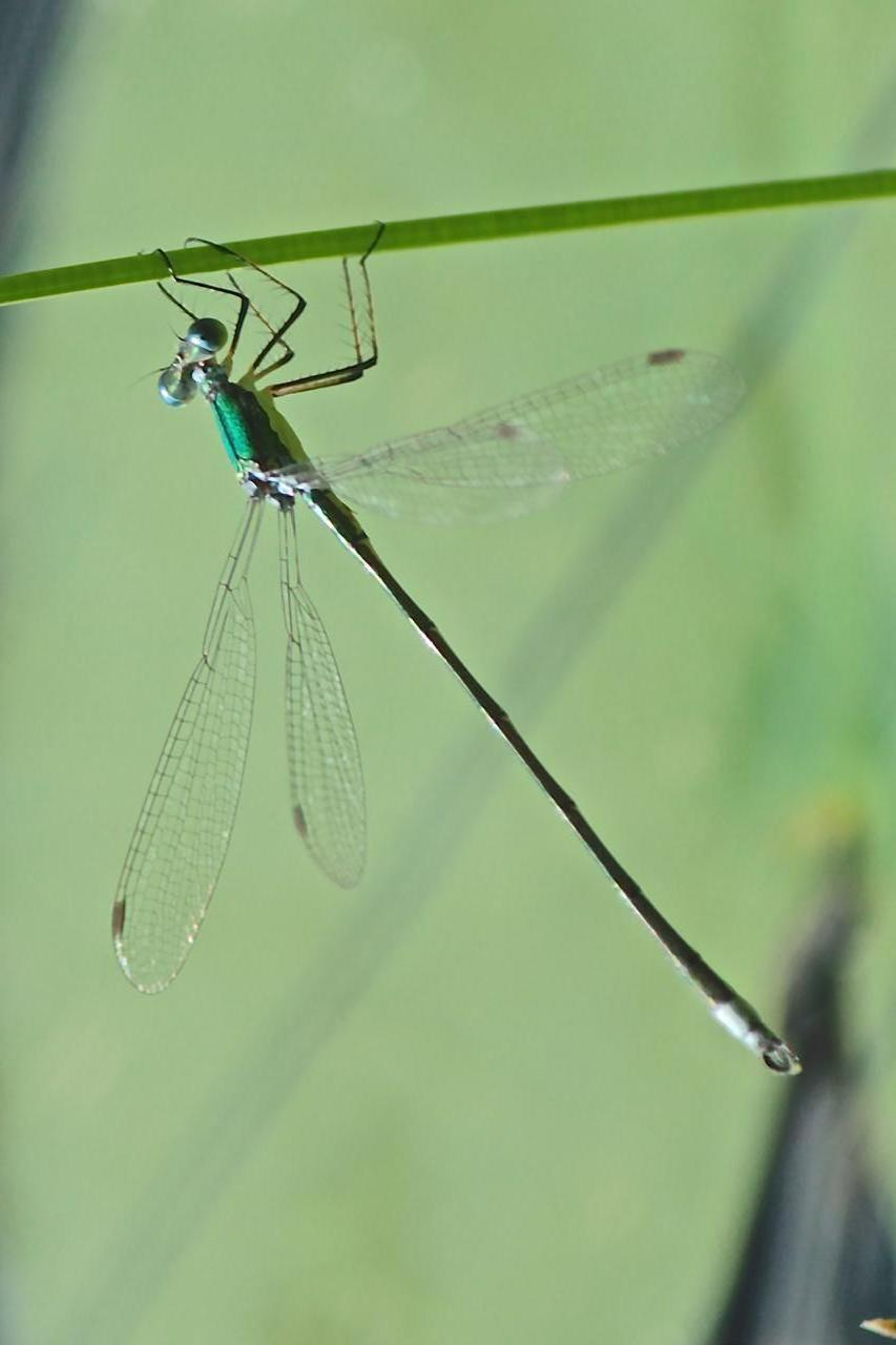 Emerald Spreadwing Photo by Tony Schoch