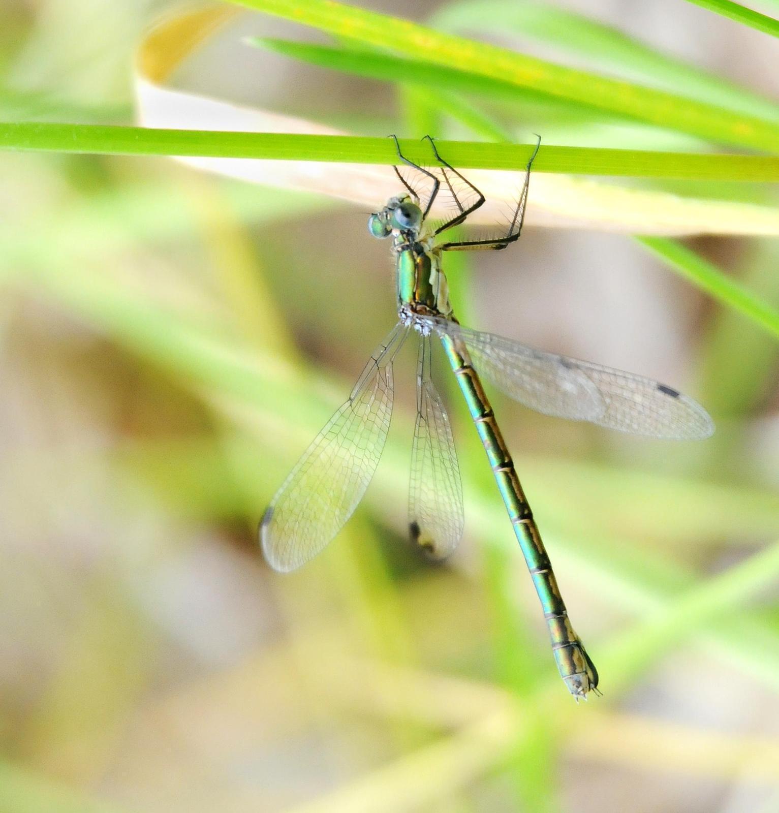 Emerald Spreadwing Photo by Steven Mlodinow