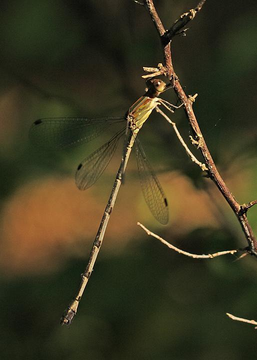 Rainpool Spreadwing Photo by Jim Burns