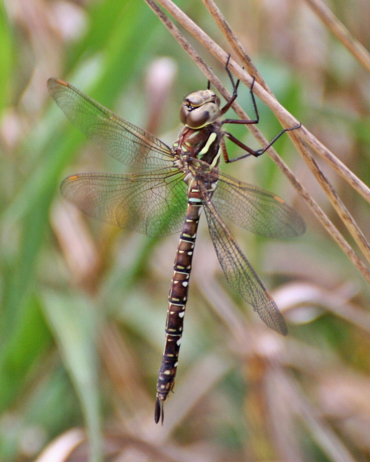 Shadow Darner Photo by Andrew Theus