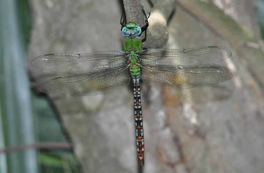 Blue-spotted Comet Darner Photo by Troy Hibbits