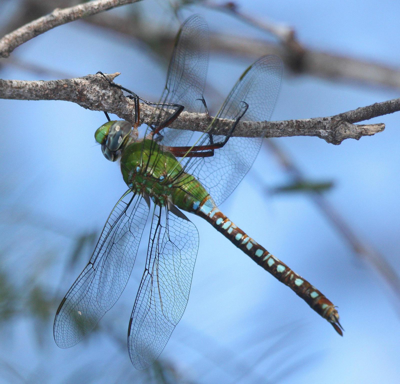 Blue-spotted Comet Darner Photo by Dave Czaplak