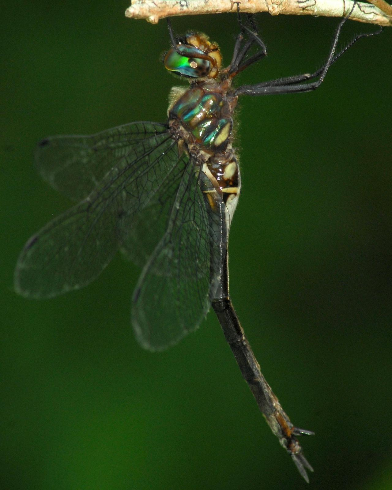 Clamp-tipped Emerald Photo by David Hollie