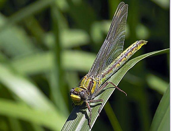 Horned Clubtail Photo by Dan Tallman