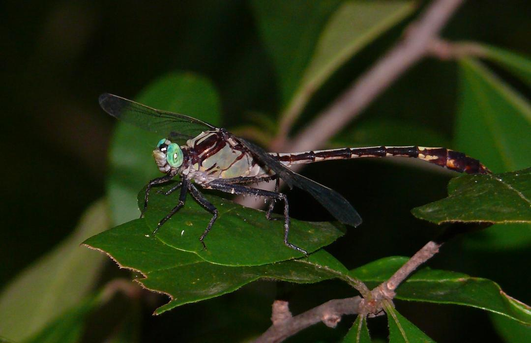 Black-shouldered Spinyleg Photo by Victor Fazio