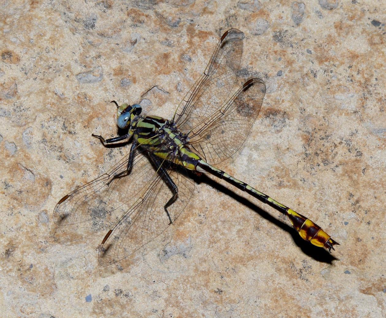 Plains Clubtail Photo by Victor Fazio