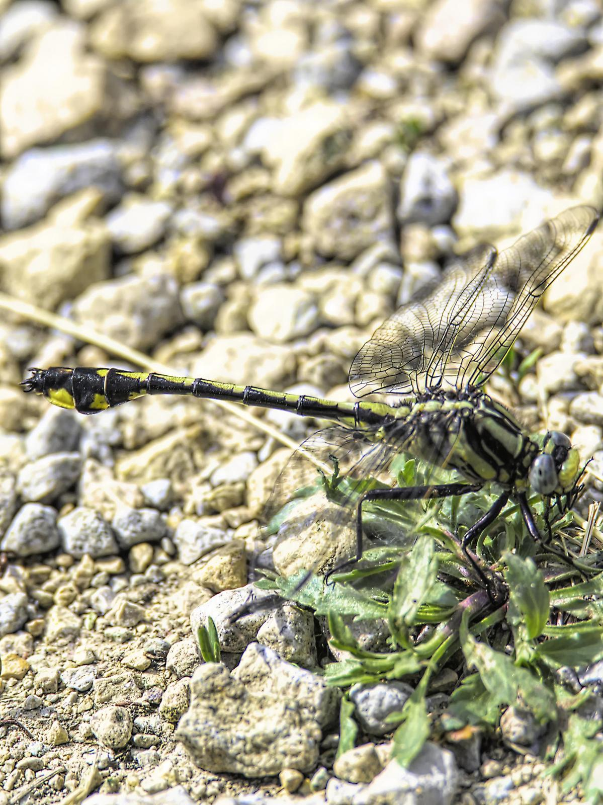 Midland Clubtail Photo by Dan Tallman
