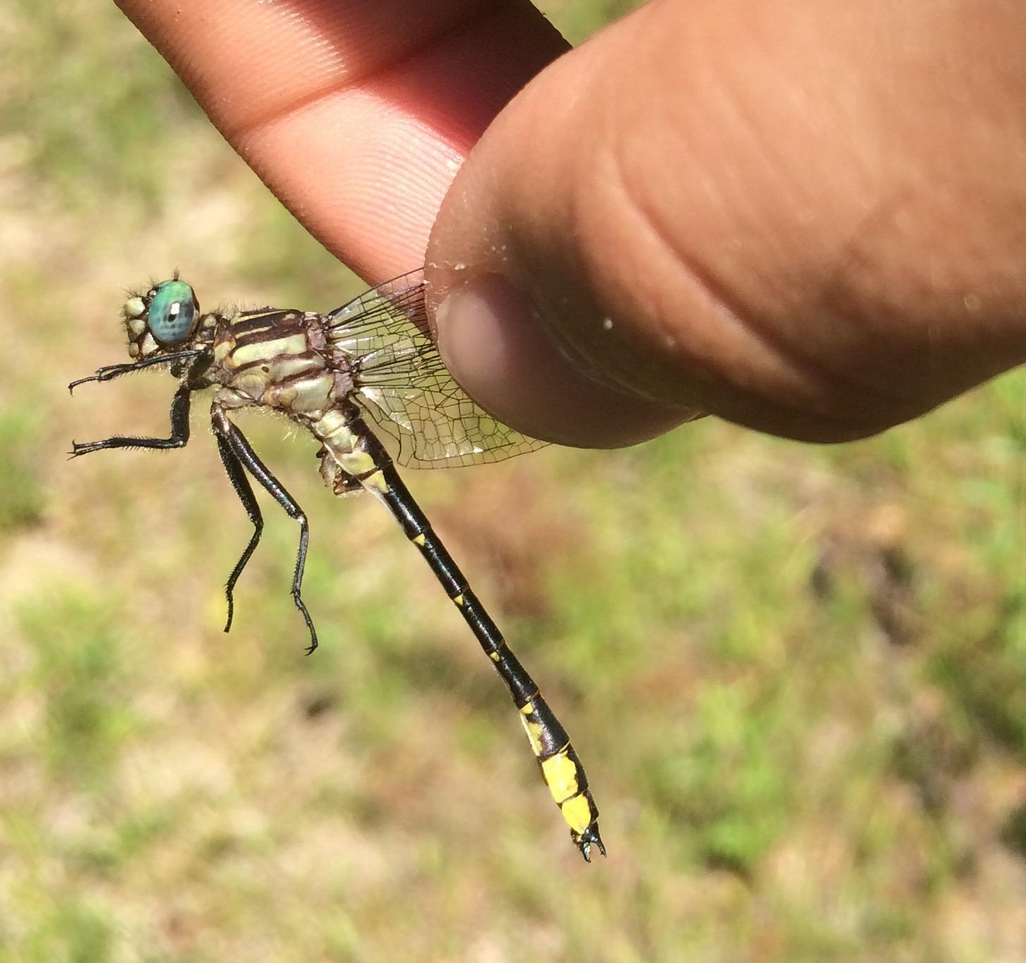 Twin striped Clubtail Photo by Andrew Theus