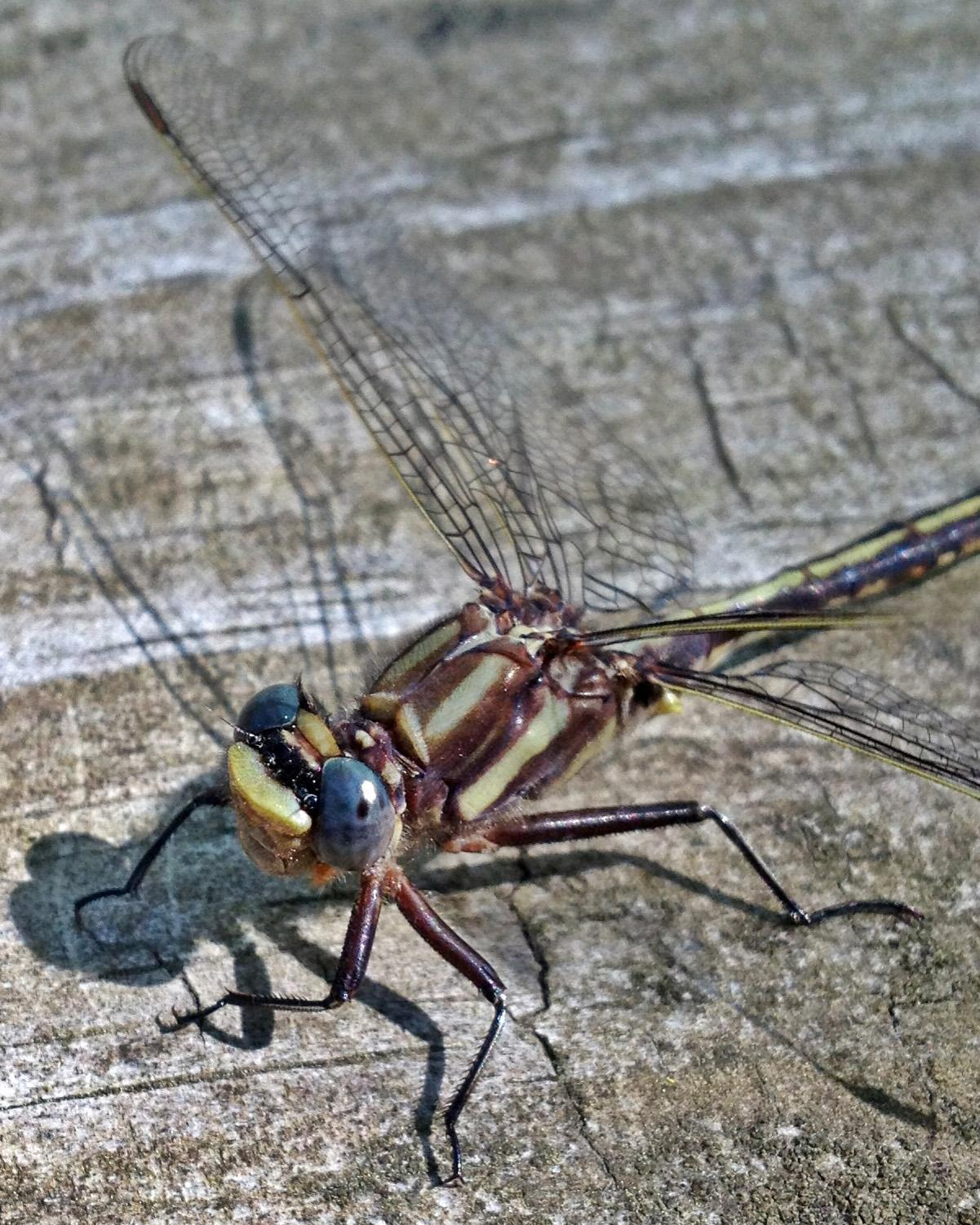 Ashy Clubtail Photo by Andrew Theus