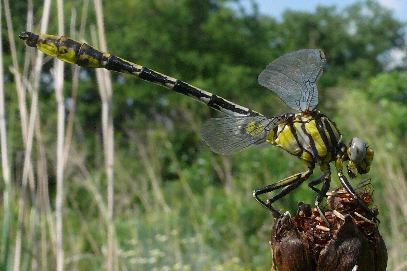 Sulphur-tipped Clubtail Photo by Victor Fazio