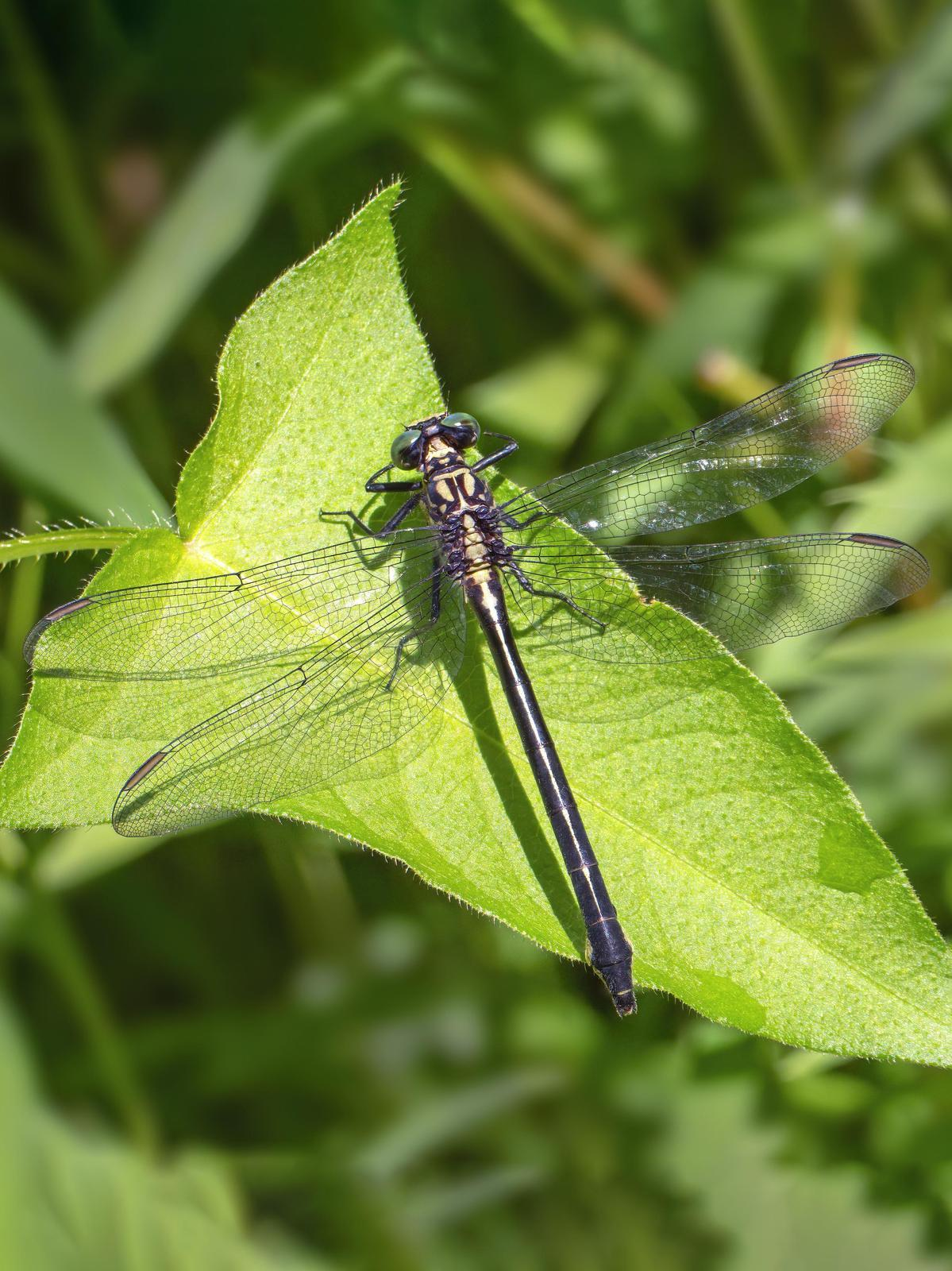 Sable Clubtail Photo by Michael Moore